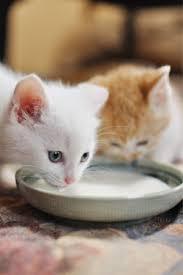 القطط في عمر أربعة اسابيع تبدأ في تناول الطعام الصلب