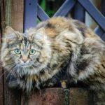مرض الثعلبة في القطط