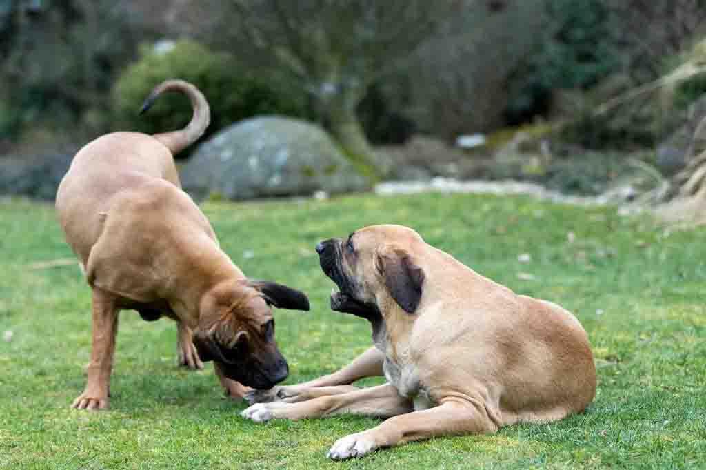 الكلبة الحائض تكون في حالة صعبة ومتوترة جدا في فترة الحيض