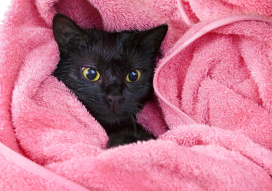 قم بتجفيف القطة جيدا بعد الاستحمام وقم بلفها بفوطة جافة ناعمة