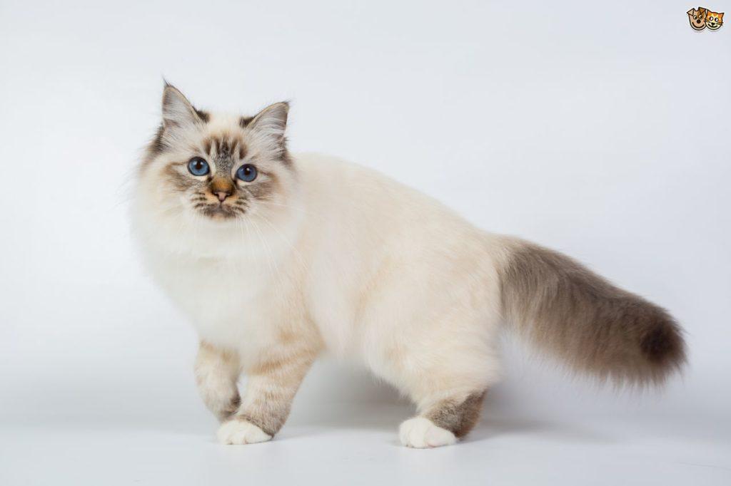 قط بورما المقدس Birman Cat