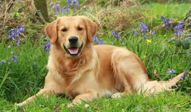 كلب الجولدن ريتريفر