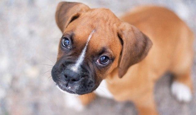كلب بوكسر