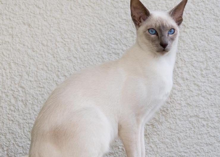 Javanese Cat قطط جاوه - القطط الأندونيسية