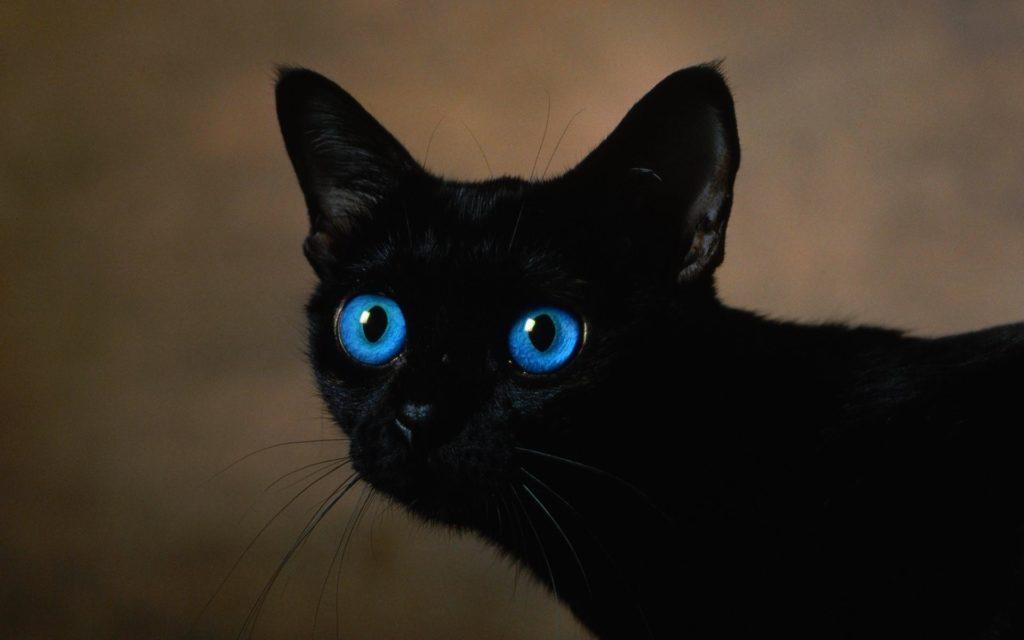 Ojos Azules - القطط ذات العيون الزرقاء - اوزوس ازولي