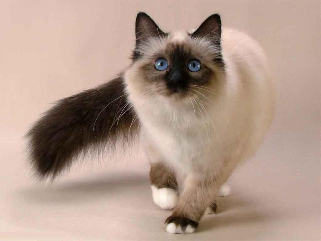 balinese cat قطط البالينيزي