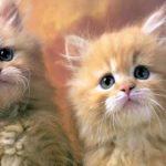 تربية القطط الشيرازي والعناية بها