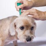 هل لاحظت أن دواء براغيث القطط والكلاب بدون فائدة ؟ هذه هي الأسباب