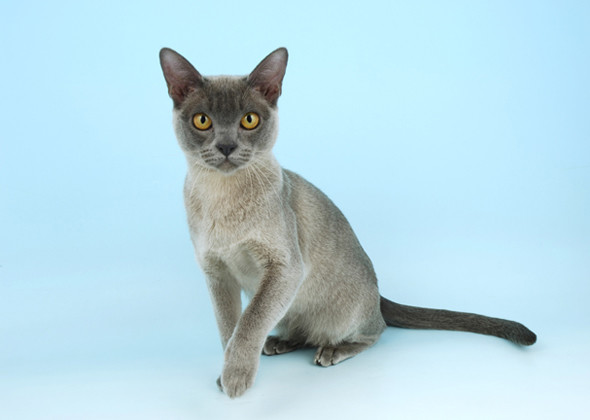 السلالة البورمية Burmese Cat