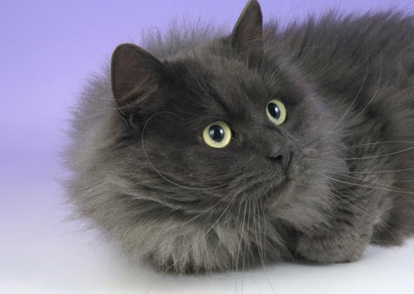 سلالة قطط سيبيريا Siberian Cat