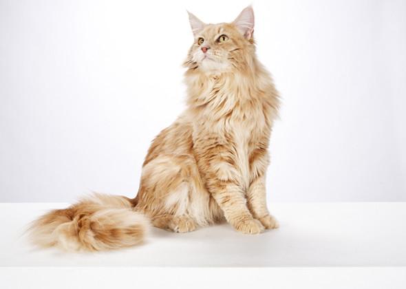 سلالة مين كون القط العملاق اللطيف Maine Coon Cat