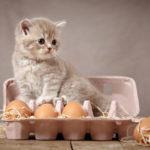 البيض المسلوق للقطط يفيدها جدا لكن البيض النئ قد يسبب الكثير من المشاكل