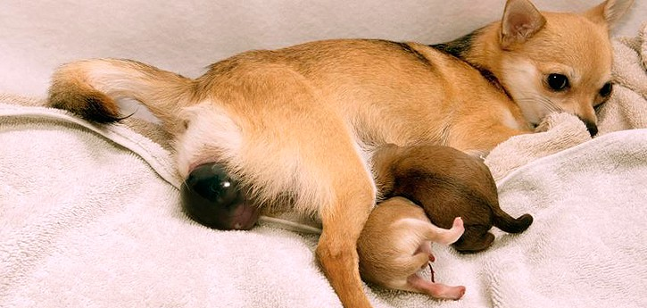 الكلبة الحامل قد تلد جروا واحدا كل نصف ساعة