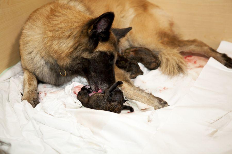 ستقوم الكلبة الحامل بتنظيف الجرو وأكل الكيس الجنيني وتحفيز التنفسي عند الكلب