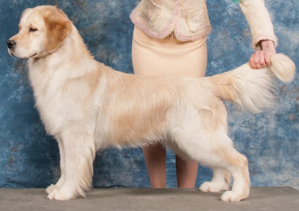 كلب جولدن ريتريفر بيور