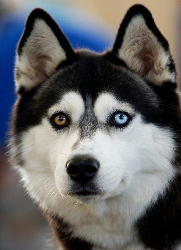 عيون كلاب الهاسكي قد تكون بنية أو زرقاء أو تتمتع كل عين بلون