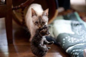 سبب تغير القطط مكان صغارها قد يكون غريب وغير مألوف