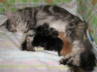 القطة الأم بعد نهاية عملية الولادة
