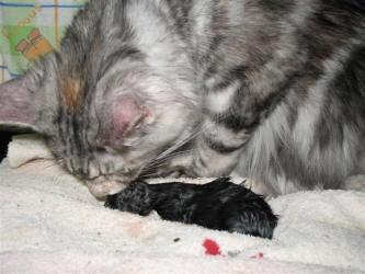 المرحلة الثالثة- القطة الأم تبدأ في تمزيق الكيس الجنيني وتنظيف القط