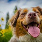 هل يهز الكلب ذيله عندما يكون سعيد معلومات خاطئة عن الكلاب