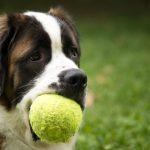 يتسائل البعض هل تستطيع الكلاب أن تتذوق الطعام وهل تحب أطعمة معينة حسب مذاقها