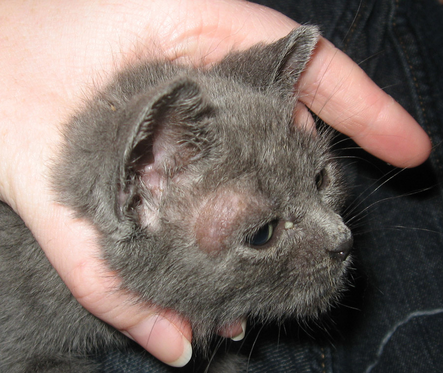 علاج فطريات القطط وأنواع الفطريات في قطتك بالتفصيل دليل العيادات البيطرية دكتور بيطري بين يديك