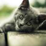 هل تحتاج القطط الطعام الخالي من الجلوتين