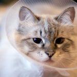 احمرار العيون عند القطط