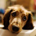 مرض الإكزيما في الكلاب