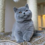 قطط معرضة لخطر مرض السمنه