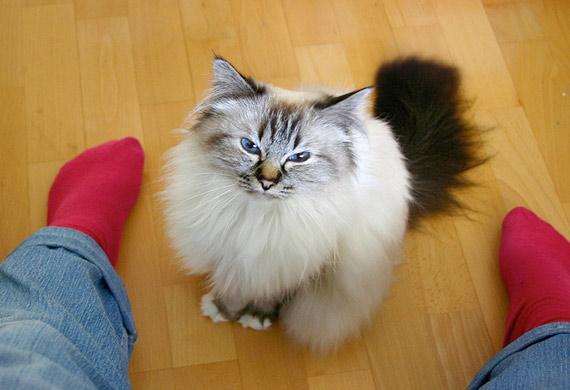 قط بيرمان - Birman Cat Breed