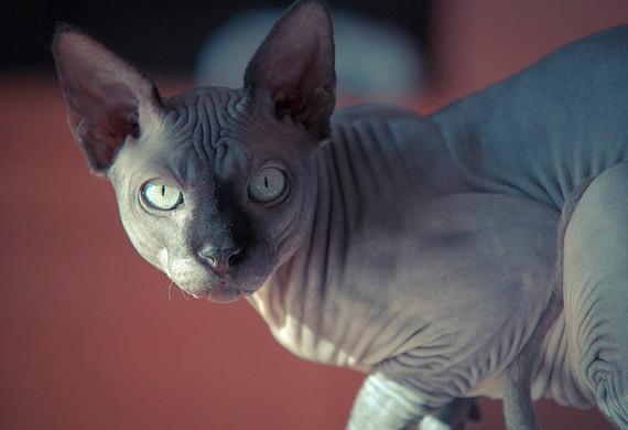 قط سفينكس Sphynix Cat Breed