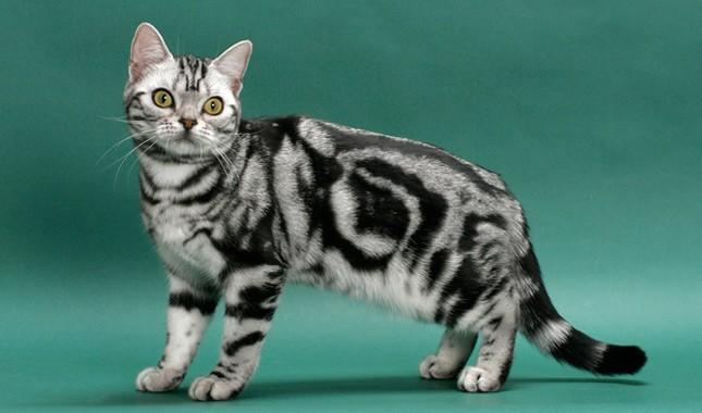 American Shorthair cat breed - قط اميريكان شورت هير