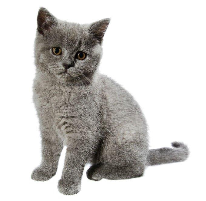 British Short Hair Cat - القط البيريطاني قصير الشعر