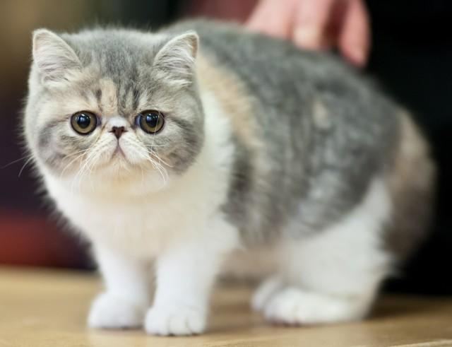 Exotic Shorthair Cat - قط اكزوتيك شورت هير