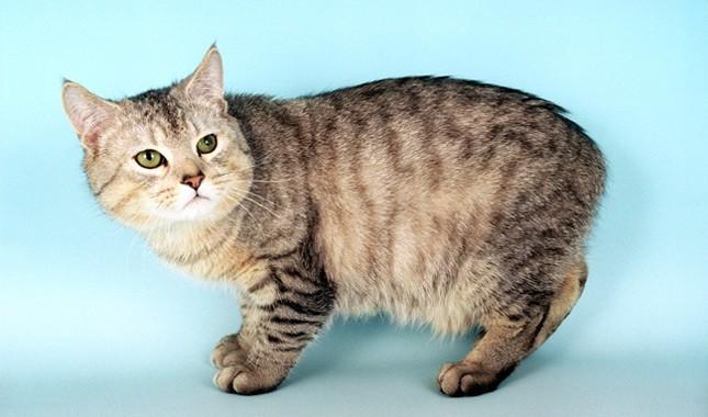 Manx Cat قط مانكس