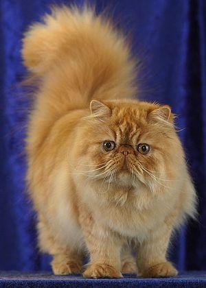 Peke Face Cat - قطط البيكي فيس