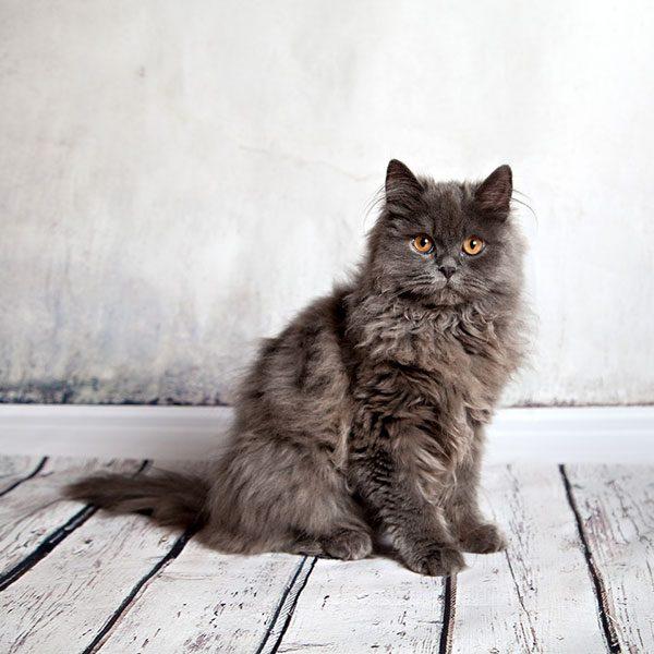 Persian Cats قطط البيرشن