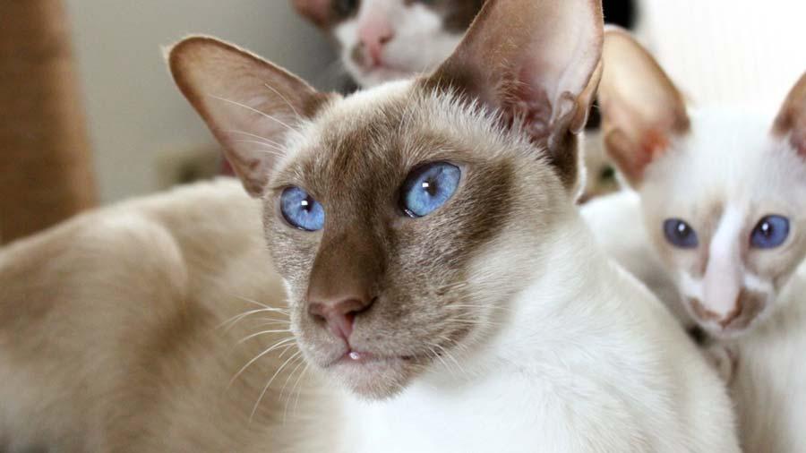 color point shorthair cat - القط قصير الشعر ذو الأطراف الملونة