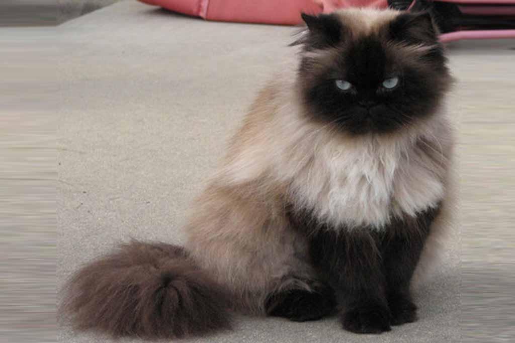 القطط الهيمالايا سيل بوينت .. لاحظ اللون الداكن للاطراف