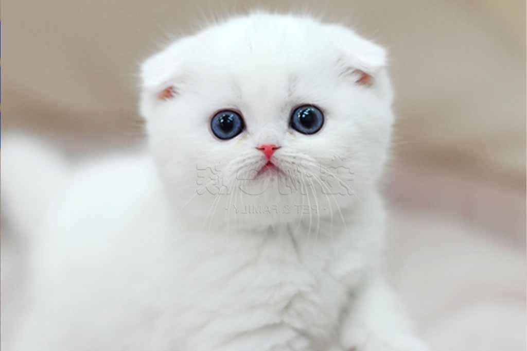 القط الاسكتلندي مطوي الأذن Scottish Fold