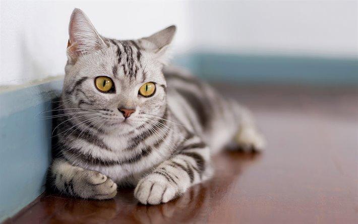 القط الامريكي قصير الشعر