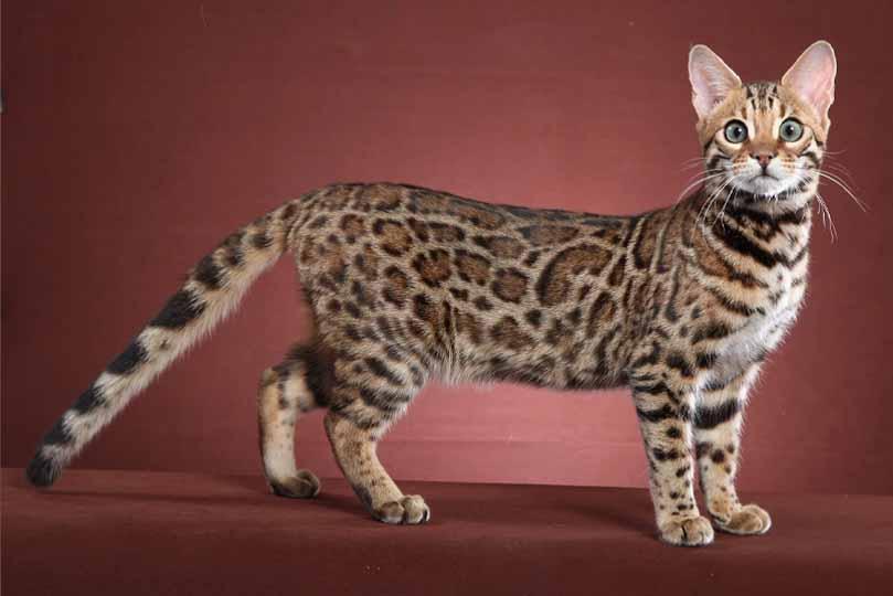 القط البنغال يتمتع بجسد رشيق يساعده على الصيد والتسلق