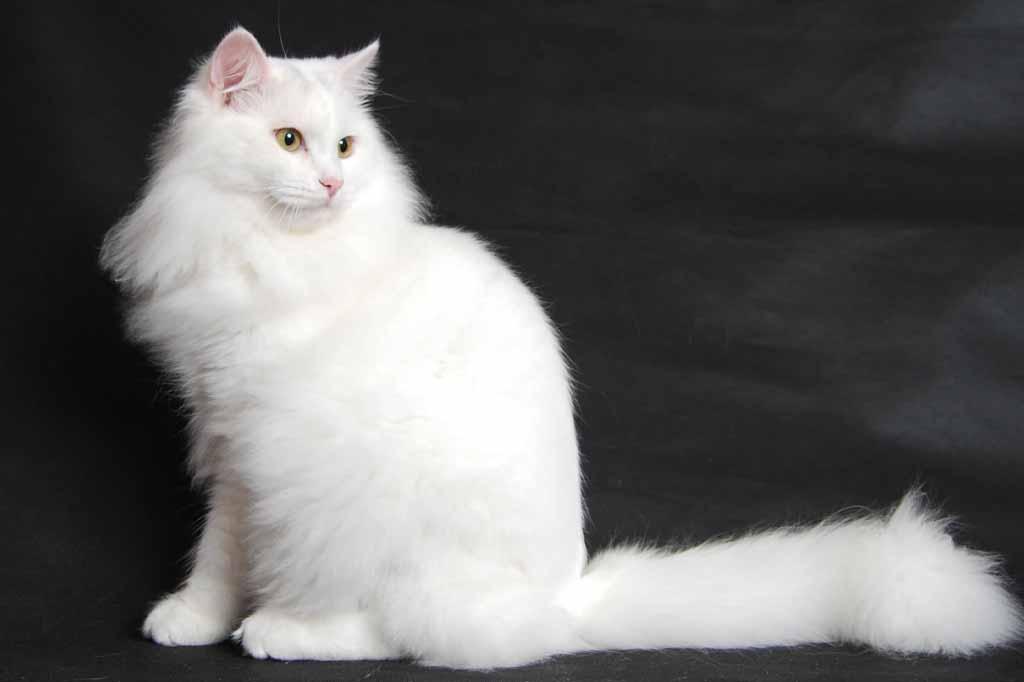 القط السيبيري الأبيض