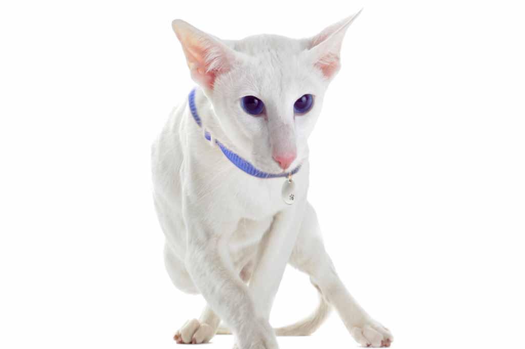 القط الشرقي Oriental