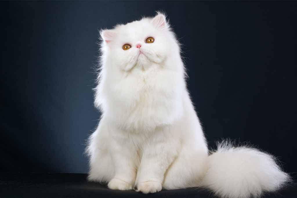القط الفارسي او الشيرازي