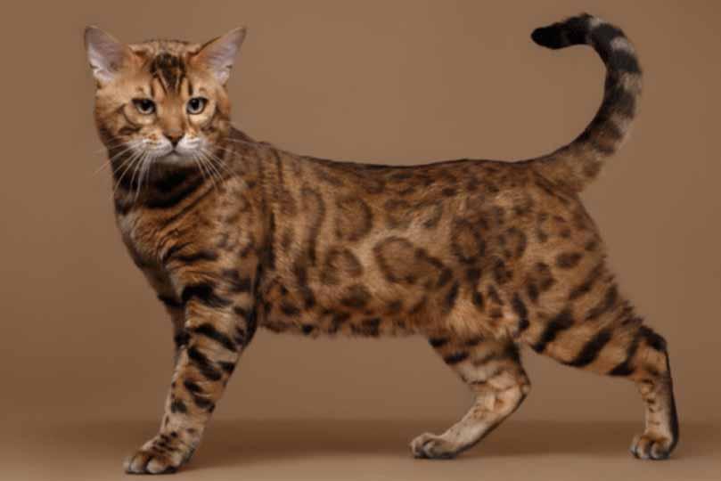تتميز القطط البنغالية بفراء منقوش مثل فراء النمر