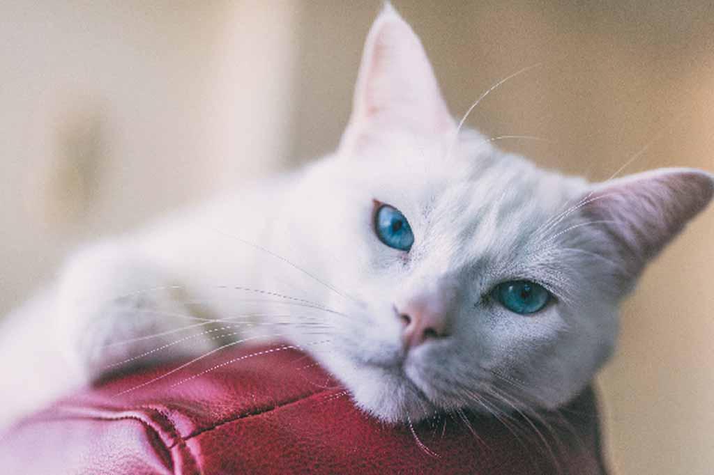 تتميز قطط الانجورا بعيون زرقاء ساحرة وفراء طويل وناعم