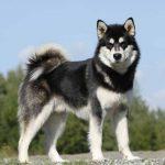 صفات كلاب الاسكا مالموت Alaskan Malamute