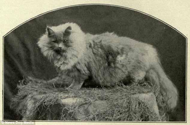 صور القط الشيرازي في معرض كريستال بالاس
